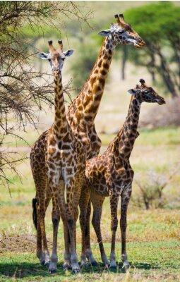 Naklejka Grupa żyrafy w sawanny. Kenia. Tanzania. Wschodnia Afryka. Doskonałą ilustracją.