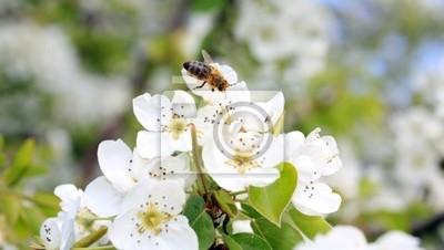 Gruszka kwiat pszczoła