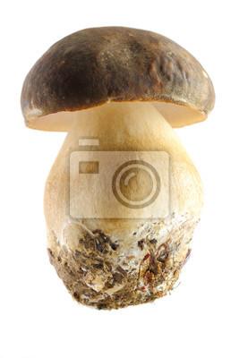 grzybów borowików
