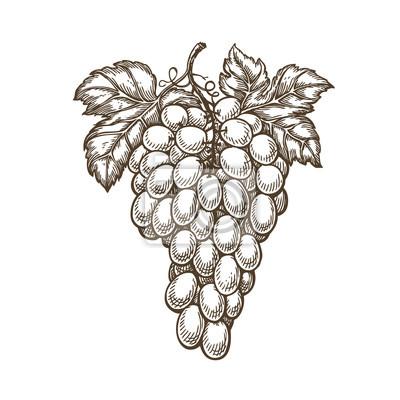 Naklejka Hand drawn bunch of grapes. Fruit, vineyard, wine sketch. Vintage vector illustration