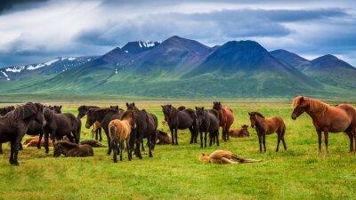 Naklejka Herd of horses in the mountains in Iceland