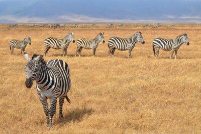 Naklejka Herd of Zebras