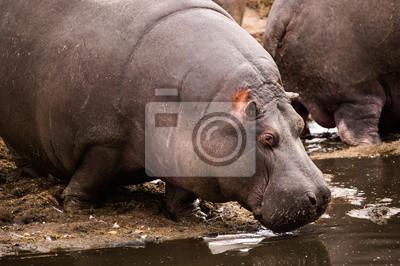 Naklejka Hipopotam