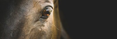 Naklejka Horse portrait close up, detail. Horse head on a black background, banner. Calm, relaxed