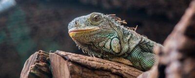 Naklejka Iguana