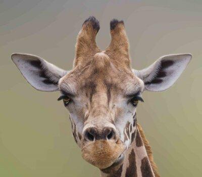 Naklejka Ja jestem piękny, Cute Giraffe portret.