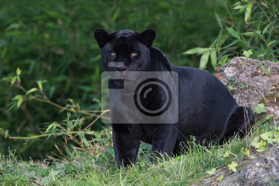 Naklejka Jaguar (Panthera onca) / Czarny Jaguar głęboko w lesie