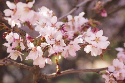 Naklejka Japonia Sakura kwiat wiśni