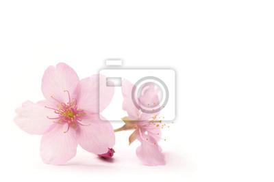 Naklejka Japoński kwiat wiśni kwiaty w bieli