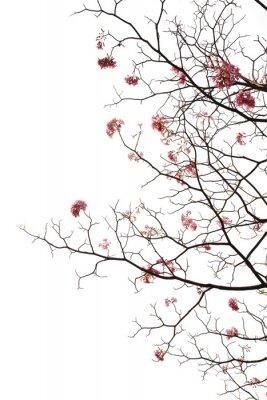 Naklejka japoński kwiat wiśni na białym tle