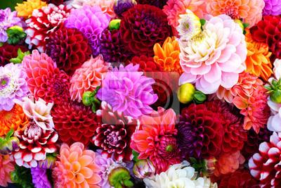Naklejka Jasne bukiety kolorowych pomponowych dalii kwitną na rynku