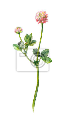Jeden akwarela malowane różowe koniczyny kwiat, izolowane
