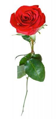 Naklejka jedna czerwona róża kwiat wyizolowanych na białym tle