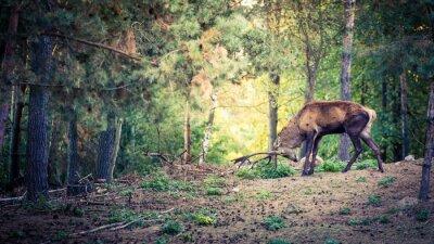 Naklejka Jelenia z dużymi rogami w lesie