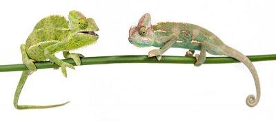 Naklejka Kameleon jemeński, kobiet i mężczyzn