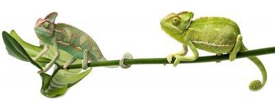 Naklejka Kameleon jemeński, samiec i samica