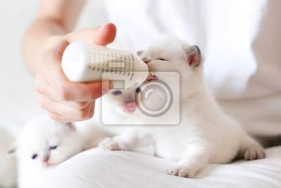 Karmienie mały biały kot z mlekozastępczym