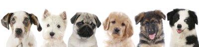 Naklejka Kilka szczenięta - psy kolejce głowy