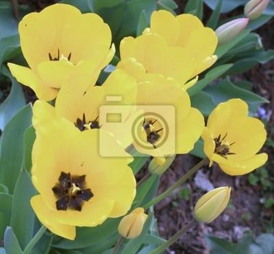 kilka żółtych tulipanów