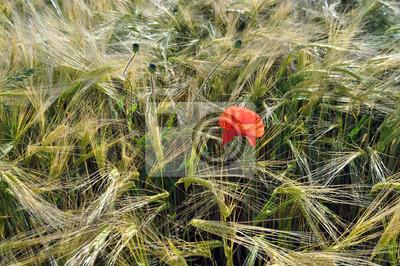 Klatschmohn im Getreidefeld