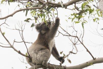 Naklejka Koala zbieranie liści eukaliptusa jeść