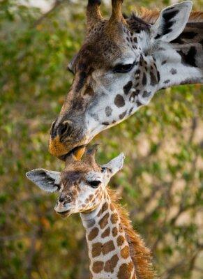 Naklejka Kobieta z dzieckiem żyrafa na sawannie. Kenia. Tanzania. Wschodnia Afryka. Doskonałą ilustracją.