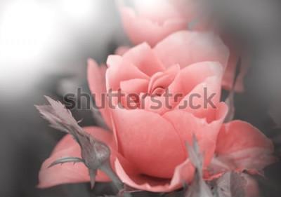 Naklejka Kolorowa róża.