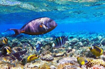 Naklejka Koral i ryb w Morzu Czerwonym. Egipt, Afryka.