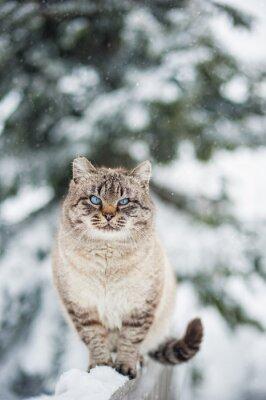 Naklejka Kot syberyjski zimą
