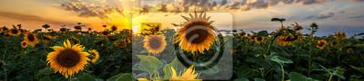 Naklejka Krajobraz lato: piękno zachód słońca nad pole słoneczników. Widoki panoramiczne
