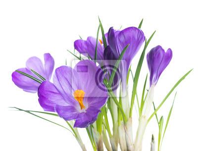 Krokus kwiat tło wiosna