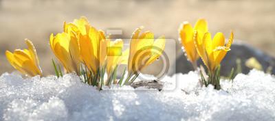 Naklejka Krokusy żółty okwitnięcie na wiosna słonecznym dniu w na wolnym powietrzu. Piękne pierwiosnki na tle genialnego białego śniegu.