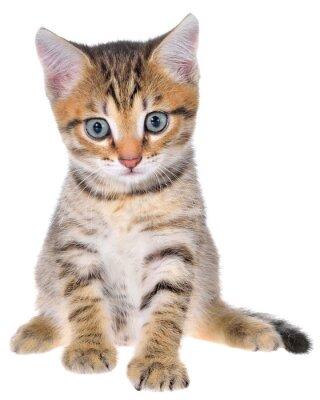 Naklejka Krótkowłosy pręgowane kotek