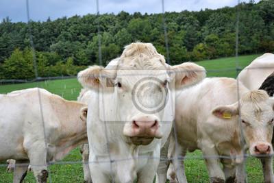 Naklejka Krowy Byki I Cielęta Wypasu Na Pastwiska Na Ranczu