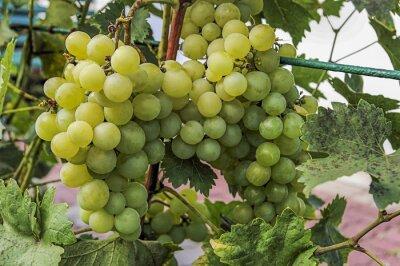 Naklejka Krzew z winogronem