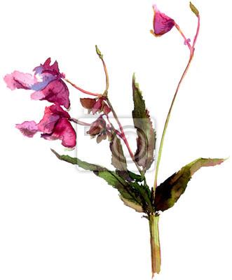 Kwiat Balsam, Jewelweed. Niecierpek gruczołowaty