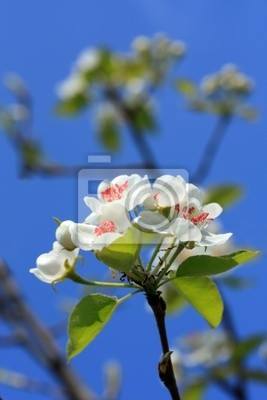 Kwiat gruszy