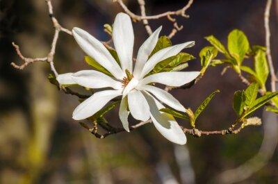 Naklejka kwiat magnolii biały kolor