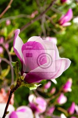 Kwiat magnolii na oddział na wiosnę, dzień jasny.