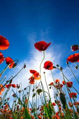 Naklejka Kwiat maku