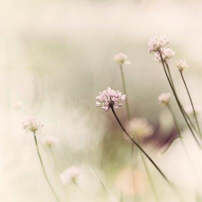 Naklejka Kwiaty czosnku