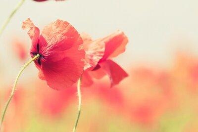 Naklejka Kwiaty maku retro pokojowego latem w tle