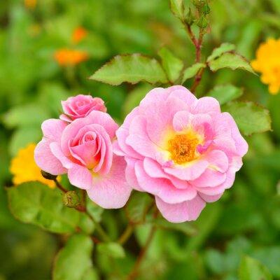 Naklejka Kwiaty Pink Rose
