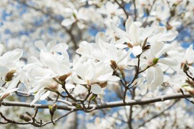 Naklejka Kwitnąca magnolia