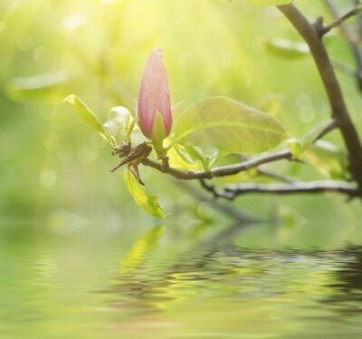 Naklejka Kwitnąca magnolia kwiatów w okresie wiosennym, słoneczny kwiatów tle z refleksji wody