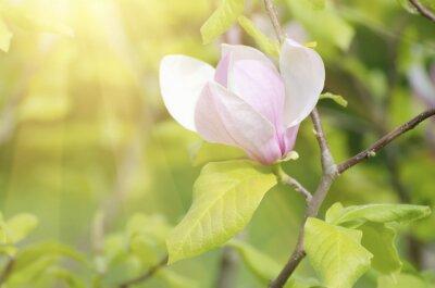 Naklejka Kwitnąca magnolia kwiatów w okresie wiosennym, słoneczny tle kwiatów