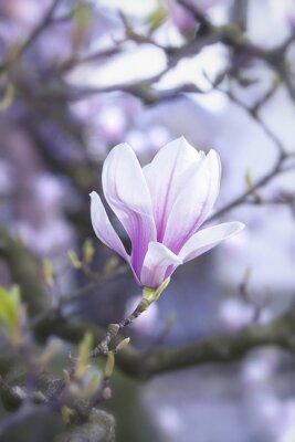 Naklejka Kwitnące kwiat magnolii na drzewie magnolii