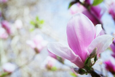 Naklejka Kwitnący kwiat magnolii