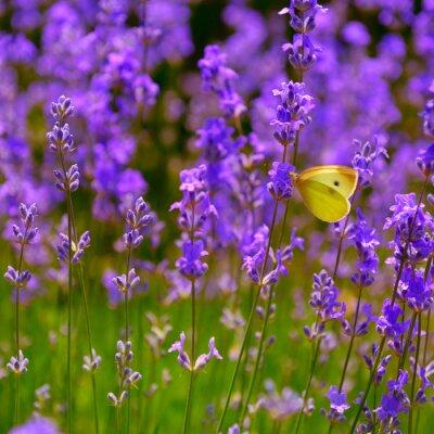 Naklejka kwitnących kwiatów lawendy i motyl