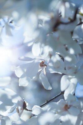 Naklejka Kwitnienie białego magnolia
